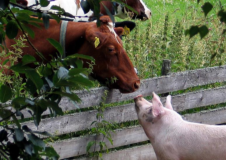 Cow and pig in unexpected meeting.